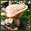 A funghi with a pool (Cajaflez) Tags: autumn mushroom herbst herfst funghi toadstool champignon paddestoel lactarius autun russulaceae melkzwam mygearandme mygearandmepremium mygearandmebronze mygearandmesilver mygearandmegold mygearandmeplatinum mygearandmediamond