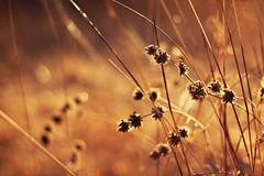 Golden insignificance (kissoflif3) Tags: life sunlight love nature backlight 50mm golden afternoon bright bokeh backlit goldengrass goldenhalo backlitgrass vision:sky=0668 vision:outdoor=0831