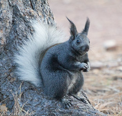 Mmmm, mmmmm! Ponderosa pine nuts are my favorite! (Squirrel Girl cbk) Tags: arizona black squirrels unitedstates northrim whitetail grandcanyonnationalpark treesquirrel kaibabsquirrel sciurusabertikaibabensis tuftedears vision:outdoor=0965 vision:sky=0749