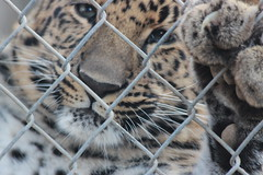 Acting Cute (Chicago John) Tags: world park cats oregon zoo great junction leopard cave amur amurleopard cavejunction greatcatsworldpark