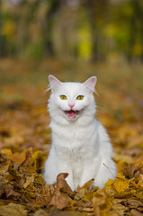Autumn cat (Nikita Trutenin) Tags: autumn fall animals cat    smalldof