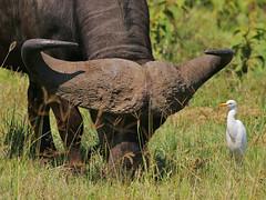 Partners! (Rainbirder) Tags: kenya capebuffalo cattleegret bubulcusibis lakenakuru synceruscaffer rainbirder