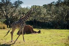 Giraffe (Etrusia UK) Tags: christmas travel usa holiday animals geotagged orlando nikon holidays florida zoom unitedstatesofamerica ak disney fl fullframe wdw waltdisneyworld fx kissimmee animalkingdom d800 nikkorlens 2013 nikon2485mm geo:lat=28362704 geo:lon=81594155