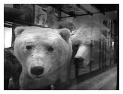 the polar bear at Tring (NineM2010) Tags: polarbear climatechange eisbr naturalhistorymuseumtring