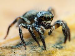 Corythalia (Techuser) Tags: macro nature face animal bug spider eyes backyard close arachnid aranha salticidae raynox 45175