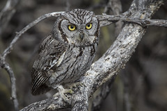 Western Screech Owl (Eric Gofreed) Tags: arizona ngc owl maderacanyon westernscreechowl cochisecounty avianexcellence
