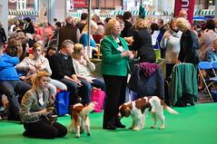 Crufty-Tufty 09-03-2014 019 (milocartoon) Tags: show dog green carpet springer welsh judging spaniels crufts cruftytufty09032014