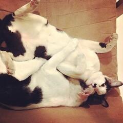 วัวน้อย คู่ซี้ต่างวัย #cute #thai #siam #siamese #cat #cats #kitty #kitten #kittens #sleep #แมว #ลูกแมว #ไทย #สยาม #น่ารัก #นอน #udoncat #udon #udonthani #แมวอุดร #อุดร #อุดรธานี #ilovecat #ฉันรักแมว