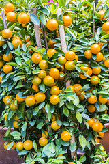 kumquat lemon (sydeen) Tags: china food orange plant tree green nature beautiful yellow closeup tangerine fruit garden golden leaf juicy lemon healthy branch natural blossom juice vibrant background small grow fresh growth viet tropical mandarin citrus organic lime agriculture japonica nam freshness nutrition kumquat vitamin cumquat fortunella