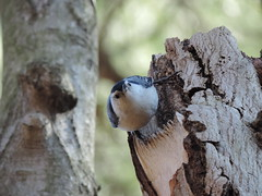"""You talkin' to me?"" said in your best Travis Bickle voice (makeupanid) Tags: tree bird spring highpark taxi bark travisbickle nuthatch birdwatching whitebreastednuthatch sittacarolinensis birdfeeding youtalkintome butitssnowingrightnow"