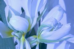 after Georgia O'Keefe (Wendy:) Tags: photoshop 50mm led tulip georgiaokeefe emulation