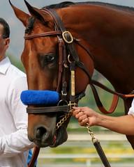 American Pharoah (kimpossible pics) Tags: horse racetrack jockey horseracing racehorse thoroughbred arcadia equine triplecrown santaanita santaanitaracetrack bobbaffert victorespinoza zayatstables ahmedzayat americanpharoah