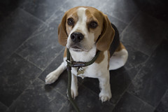 Alfie (James Andrew West) Tags: beagle zeiss sony 55mm 18 a7s
