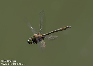 Downy emerald in flight