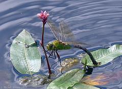 Honneur aux dames (zogt2000 (No Video)) Tags: dragonfly bretagne libellule anaximperator anaxempereur plomeur douarbrioloch