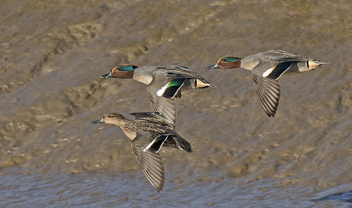 THREE TEAL'S ON MY WAGON