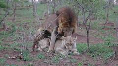 Lions (Panthera leo) couple mating ... (berniedup) Tags: lion pantheraleo lowersabie kruger taxonomy:binomial=pantheraleo