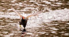 Head-on (Steve-h) Tags: bushypark birds nature natur natura naturaleza action flight running red yellow brown white splashing colour water pond dublin ireland europe steveh