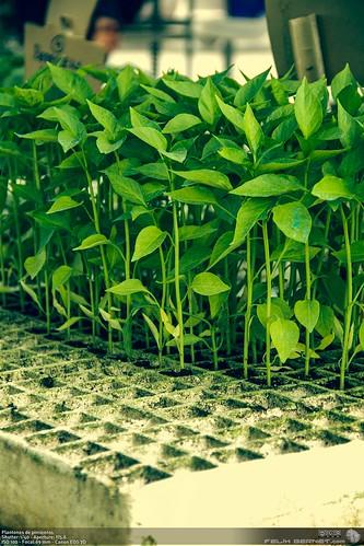 Plantones de pimientos