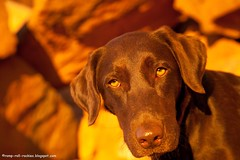 Sunset Glow (KB RRR) Tags: dog nature utah desert moab redrock chocolatelabrador shyla