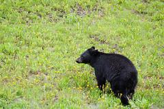 Black Bear (theobjectivesea photography) Tags: canada britishcolumbia blackbear wildanimals cuteanimals kootenaynationalpark