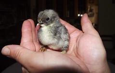 I pio pio (LauDot) Tags: chicks pulcini