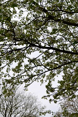 Tree Branches (fromayoungheart) Tags: chicago storm tree green leaves leaf spring branches stormy bloom blooms blooming