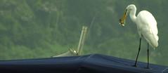 Hora do lanche (Ricardo Venerando) Tags: life white bird heron nature animal brasil fishing wildlife natureza aves explore fujifilm abc discovery soe naturesfinest ornitologia conservacion nationalgeografic platinumphoto abcpaulista diamondclassphotographer ysplix grandeabc goldstaraward ricardovenerando