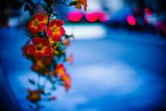 Roadside Evening (moaan) Tags: flower flowering flora trumpetvine trumpetcreeper evening dusk twilight atmosphere blue car fixedpointobservation leica m9 m9p leicam9 leicam9p noctilux 50mm f10 leicanoctilux50mmf10 life inlife bokeh dof utata 2013