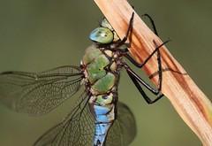 Blue Emperor (Anax imperator) Male (Rezamink) Tags: dragonflies odonata anaximperator emperordragonfly blueemperor