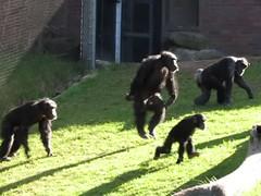 Poor Lulu (myopixia) Tags: lulu chimpanzee taronga tarongazoo sule pantroglodytes myopixia furahi