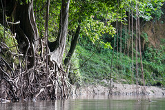 Along the river (Andrew Snyder Photography) Tags: trees vines rainforest roots guyana research jungle biodiversity surama conservationphotography burroburroriver andrewmsnyder andrewmsnyderphotography