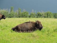Photobombed (murrjw) Tags: bird buffalo diversity olympus bison oly symbiosis e500 photobomb murrjw