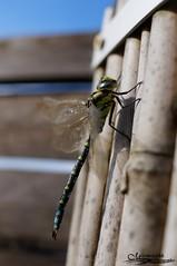 Libellule type Anisoptres (Miiirmotchhh) Tags: horse 35mm dragonfly f18 libellule a55 miiirmotchhh