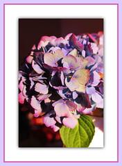 Hydrangea Glow (bigbrowneyez) Tags: flowers light beautiful petals bright bokeh gorgeous blossoms dramatic frame bella lovely elegant fiori artful delightful cornice bellissima hydrangeaglow