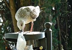 Carroeras (Franco DAlbao) Tags: bird animal lumix seagull feathers ave invader gaviota scavenger plumas urbanita leicalens carroera invasora dalbao francodalbao