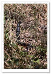 Red-bellied Black Snake-4748 (Barbara J H) Tags: snake wildlife australia qld imbil pseudechisporphyriacus redbelliedblacksnake australiansnake barbarajh maryvalley yabbasprings