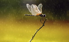 On a Rainy Day (Ragavendran / Rags) Tags: macro water rain spider drops wings branch dragon dragonfly web rainy raindrops perched chennai cwc drizzling commondragonfly chennaiweekendclickers ragavendran
