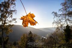 Autumn View Leaf II (boettcher.photography) Tags: autumn fall leaves germany deutschland leaf view herbst aussicht blatt neckargemnd dilsberg badenwrttemberg