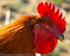 Cock-a-doodle (Desiree Banka) Tags: red orange brown chicken animal yellow gold cone farm beak feathers copper desiree crown rooster banka domesticated dezigns riseshine desireebanka desireesdezigns wwwdesireesdezignscom oldbootfarm
