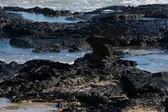 "_DSC4928  ""Lava Gull"" ""Gaviota de Lava"" (ChanHawkins) Tags: de galapagos april gaviota negra siera villamil lavagull lava"" negra"" ""sierra 10"" ""volcan volcano"" ""isabellapuerto ""wed"