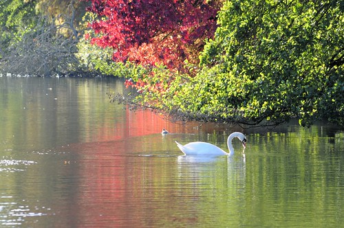 Swan on lake at The Vyne (NT)