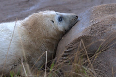Seal - lunchtime (G&R) Tags: donna lincolnshire seal pup nook