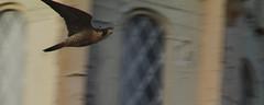Peregrine Falcon Flying Past Church (fredhosley) Tags: november bird church nature canon ma wildlife massachusetts raptor 7d falcon mass peregrine haverhill 2013 100400mml