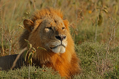 Looking to the future! (Rainbirder) Tags: kenya africanlion lakenakuru pantheraleo rainbirder