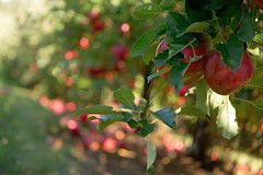 Apples to Apples (t0ri4jesus@yahoo.com) Tags: red summer fall fruit harvest warmth delicious eat apples pick applestoapples
