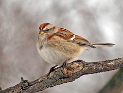 Sparrow (MLK6615) Tags: bird niagara sparrow