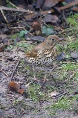 Song Thrush (Bruce Stokes) Tags: bird animal coventry songthrush coombeabbey sonya37 2014birdchallenge