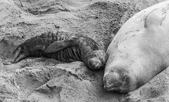Elephant Seal Female and Calf (NatureNation) Tags: calf elephantseal femaleadultelephantseal