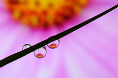 Cosmos refraction (uvaisjm - Al Seylani Photography) Tags: flower macro closeup dewdrops droplets drop refraction waterdrops cosmos